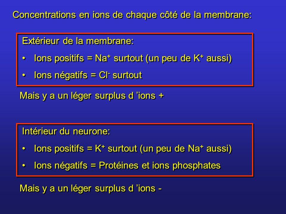 Extérieur de la membrane: Ions positifs = Na + surtout (un peu de K + aussi) Ions négatifs = Cl - surtout Extérieur de la membrane: Ions positifs = Na