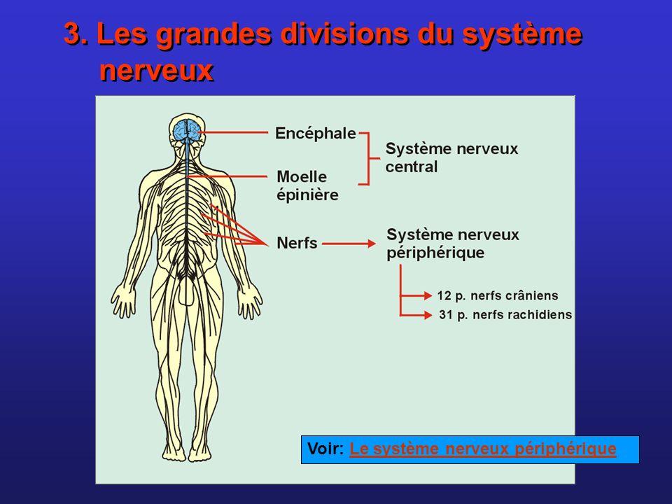 3. Les grandes divisions du système nerveux Voir: Le système nerveux périphériqueLe système nerveux périphérique