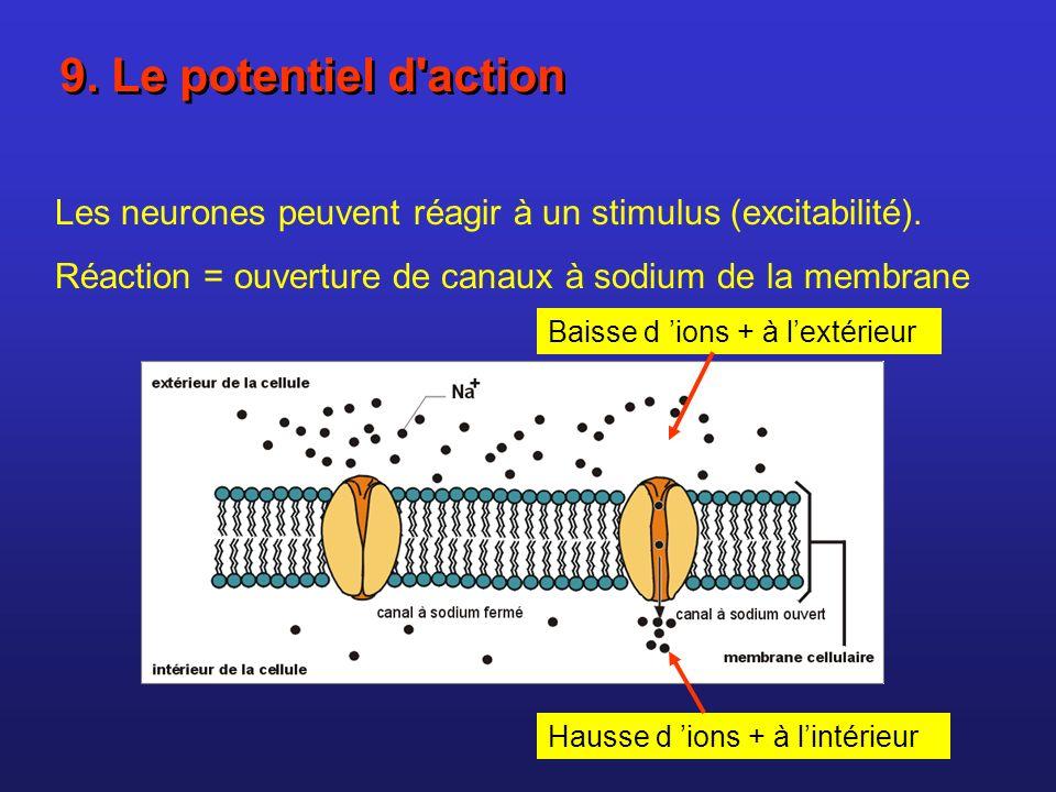 Les neurones peuvent réagir à un stimulus (excitabilité). Réaction = ouverture de canaux à sodium de la membrane Baisse d ions + à lextérieur Hausse d