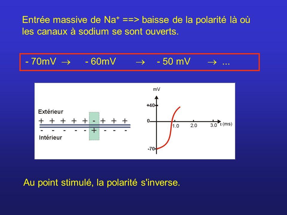 Entrée massive de Na + ==> baisse de la polarité là où les canaux à sodium se sont ouverts. - 70mV - 60mV - 50 mV... Au point stimulé, la polarité s'i
