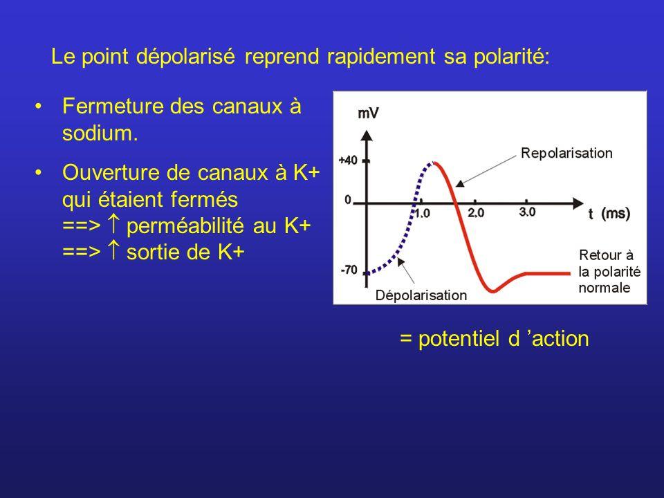 Fermeture des canaux à sodium. Ouverture de canaux à K+ qui étaient fermés ==> perméabilité au K+ ==> sortie de K+ = potentiel d action Le point dépol