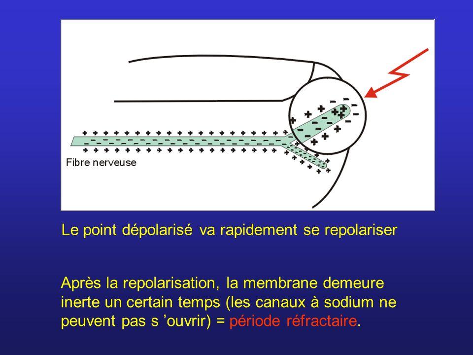 Après la repolarisation, la membrane demeure inerte un certain temps (les canaux à sodium ne peuvent pas s ouvrir) = période réfractaire. Le point dép