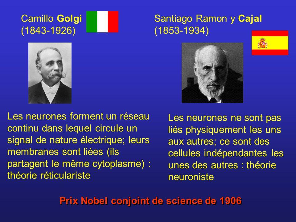 Santiago Ramon y Cajal (1853-1934) Camillo Golgi (1843-1926) Prix Nobel conjoint de science de 1906 Les neurones forment un réseau continu dans lequel