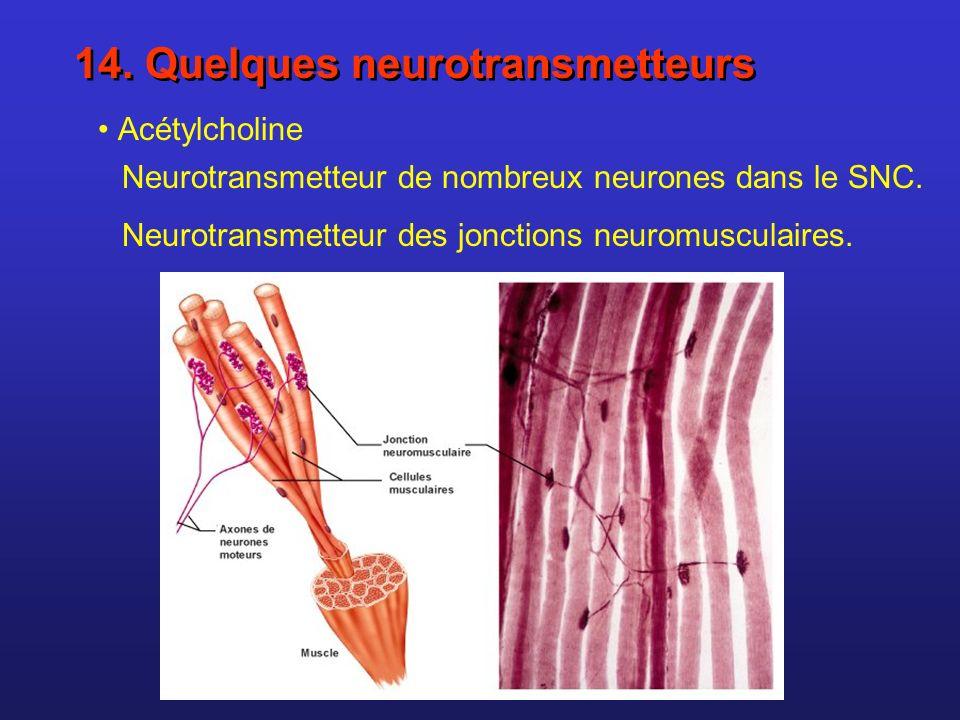 14. Quelques neurotransmetteurs Acétylcholine Neurotransmetteur de nombreux neurones dans le SNC. Neurotransmetteur des jonctions neuromusculaires.