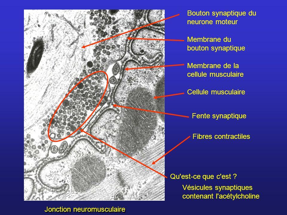 Bouton synaptique du neurone moteur Membrane du bouton synaptique Membrane de la cellule musculaire Cellule musculaire Vésicules synaptiques contenant