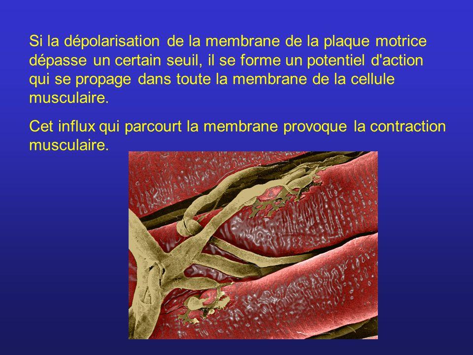 Si la dépolarisation de la membrane de la plaque motrice dépasse un certain seuil, il se forme un potentiel d'action qui se propage dans toute la memb
