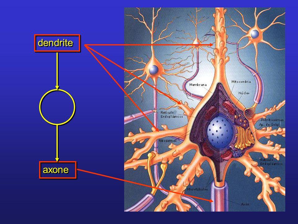 Prolongements peuvent être très ramifiés Dendrites Axone