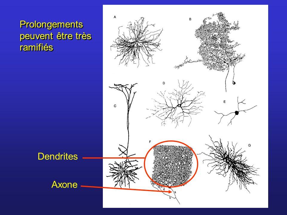 La polarité de la membrane est donc due: Différence de concentration en ions entre lintérieur et lextérieur.
