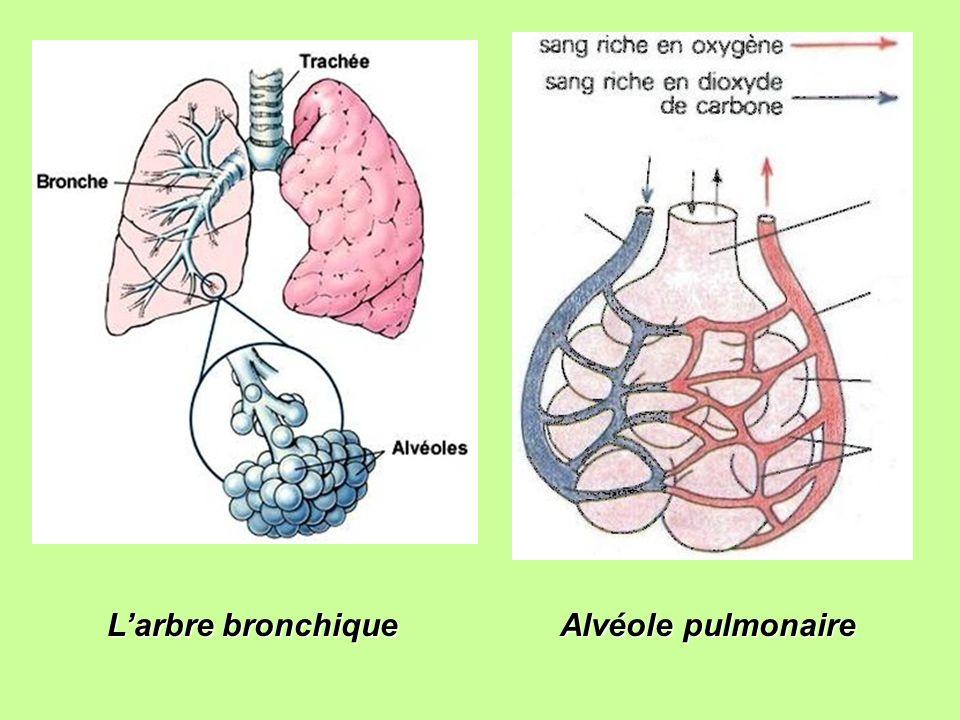 Larbre bronchique Alvéole pulmonaire