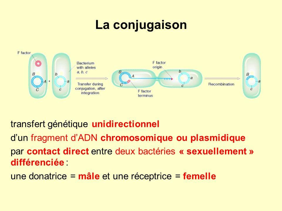 La conjugaison transfert génétique unidirectionnel dun fragment dADN chromosomique ou plasmidique par contact direct entre deux bactéries « sexuellement » différenciée : une donatrice = mâle et une réceptrice = femelle