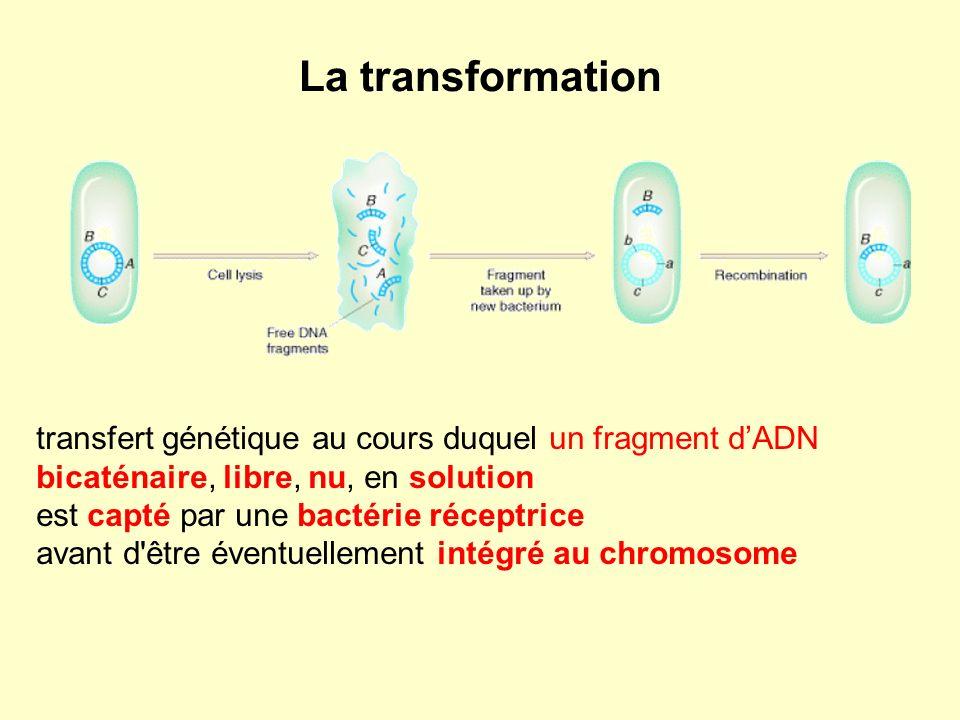 La transformation transfert génétique au cours duquel un fragment dADN bicaténaire, libre, nu, en solution est capté par une bactérie réceptrice avant d être éventuellement intégré au chromosome