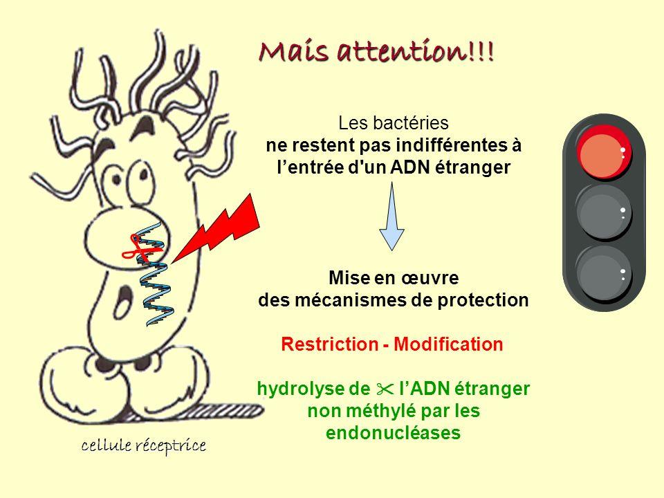 cellule réceptrice Mais attention!!! Les bactéries ne restent pas indifférentes à lentrée d'un ADN étranger Mise en œuvre des mécanismes de protection