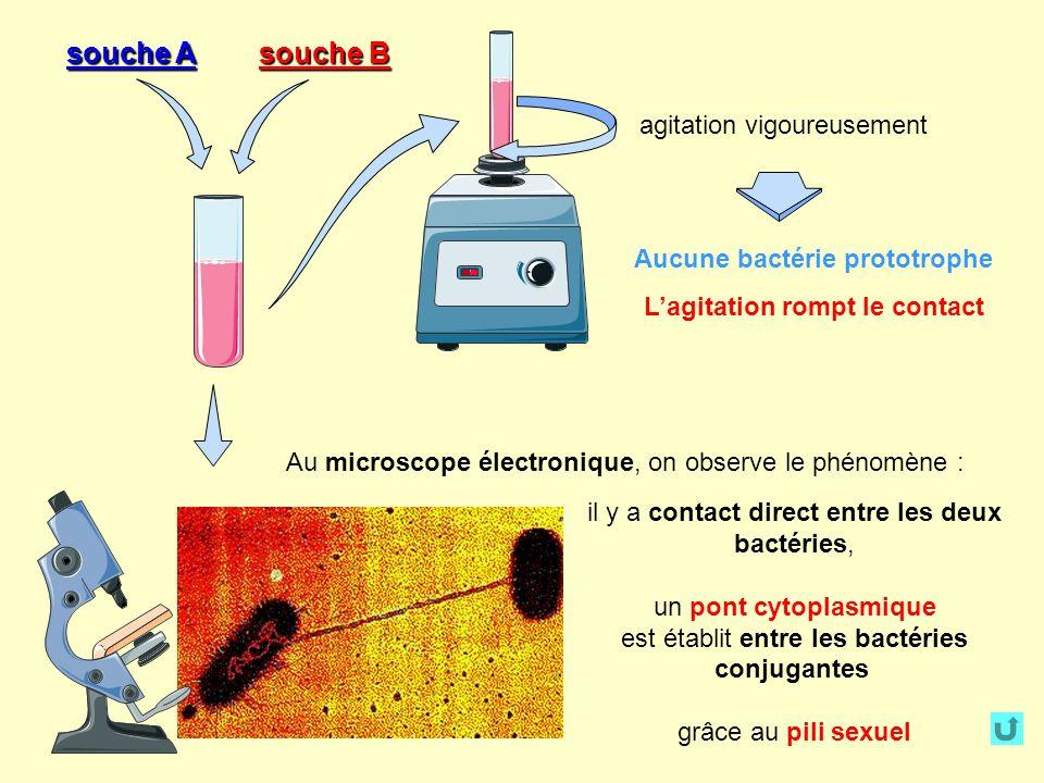 Au microscope électronique, on observe le phénomène : il y a contact direct entre les deux bactéries, un pont cytoplasmique est établit entre les bactéries conjugantes grâce au pili sexuel agitation vigoureusement souche A souche B Aucune bactérie prototrophe Lagitation rompt le contact