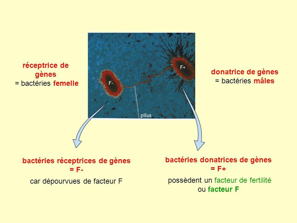 donatrice de gènes = bactéries mâles réceptrice de gènes = bactéries femelle bactéries donatrices de gènes = F+ possèdent un facteur de fertilité ou facteur F bactéries réceptrices de gènes = F- car dépourvues de facteur F