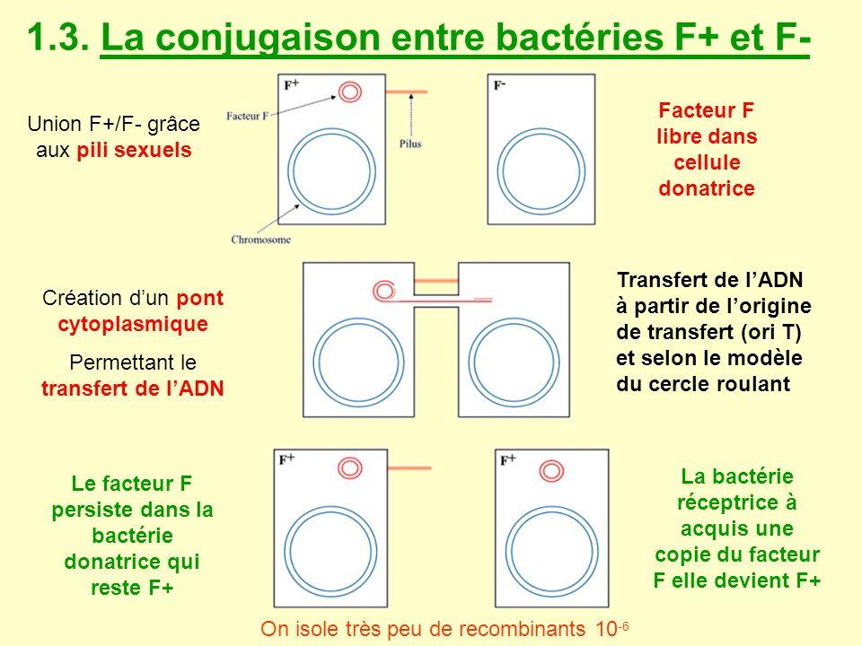 1.3. La conjugaison entre bactéries F+ et F- Union F+/F- grâce aux pili sexuels Transfert de lADN à partir de lorigine de transfert (ori T) et selon l