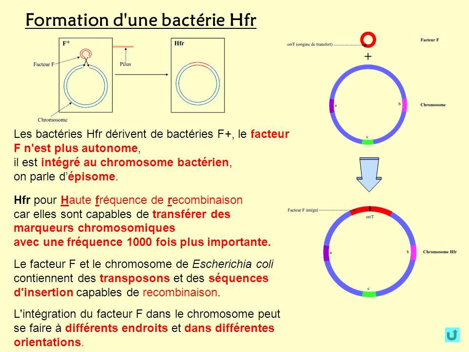 Formation d'une bactérie Hfr Les bactéries Hfr dérivent de bactéries F+, le facteur F n'est plus autonome, il est intégré au chromosome bactérien, on