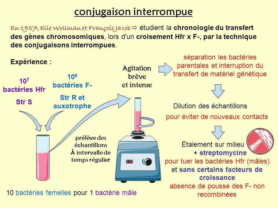 conjugaison interrompue En 1957, Elie Wollman et François Jacob étudient la chronologie du transfert des gènes chromosomiques, lors d un croisement Hfr x F-, par la technique des conjugaisons interrompues.