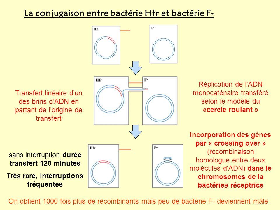 La conjugaison entre bactérie Hfr et bactérie F- Transfert linéaire dun des brins dADN en partant de lorigine de transfert Réplication de lADN monocaténaire transféré selon le modèle du «cercle roulant » Incorporation des gènes par « crossing over » (recombinaison homologue entre deux molécules d ADN) dans le chromosomes de la bactéries réceptrice sans interruption durée transfert 120 minutes Très rare, interruptions fréquentes On obtient 1000 fois plus de recombinants mais peu de bactérie F- deviennent mâle