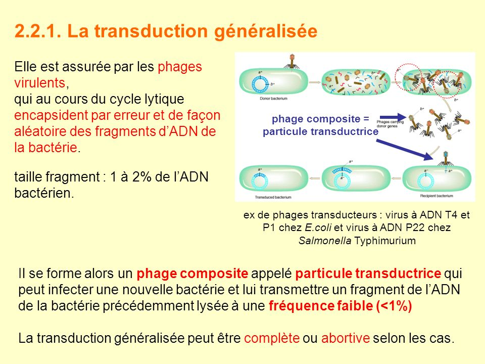 2.2.1. La transduction généralisée Elle est assurée par les phages virulents, qui au cours du cycle lytique encapsident par erreur et de façon aléatoi
