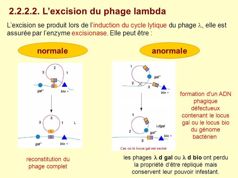 Lexcision se produit lors de linduction du cycle lytique du phage, elle est assurée par lenzyme excisionase. Elle peut être : 2.2.2.2. Lexcision du ph