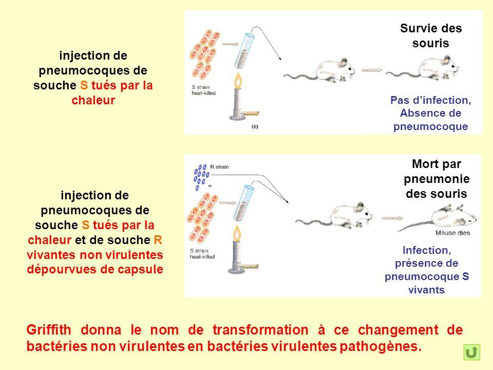 injection de pneumocoques de souche S tués par la chaleur Survie des souris injection de pneumocoques de souche S tués par la chaleur et de souche R v