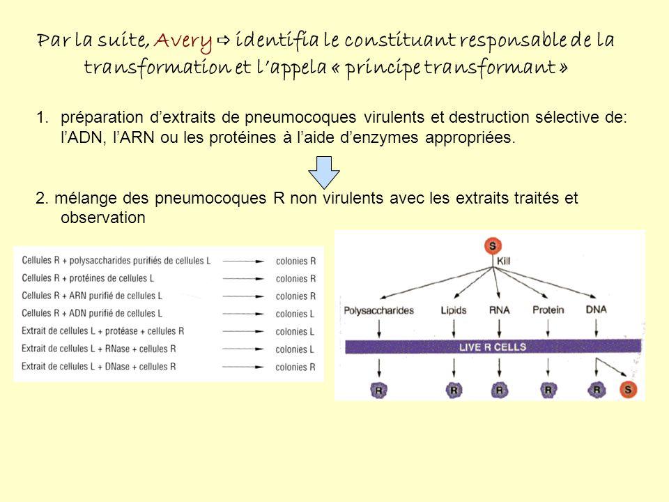 Par la suite, Avery identifia le constituant responsable de la transformation et lappela « principe transformant » 1.préparation dextraits de pneumocoques virulents et destruction sélective de: lADN, lARN ou les protéines à laide denzymes appropriées.