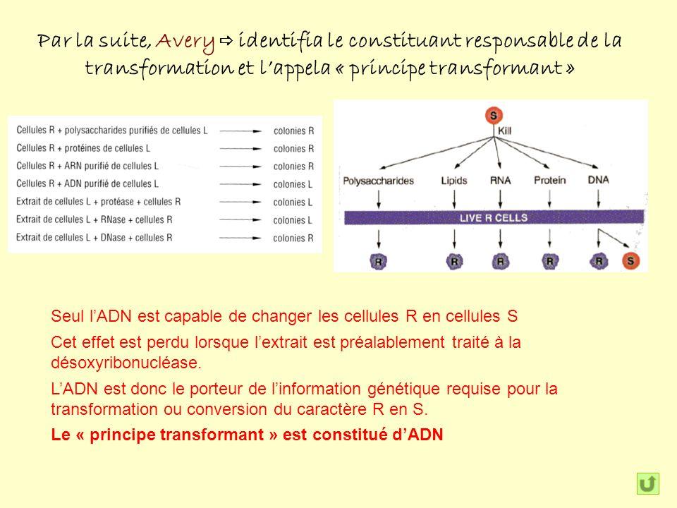 Par la suite, Avery identifia le constituant responsable de la transformation et lappela « principe transformant » Seul lADN est capable de changer les cellules R en cellules S Cet effet est perdu lorsque lextrait est préalablement traité à la désoxyribonucléase.