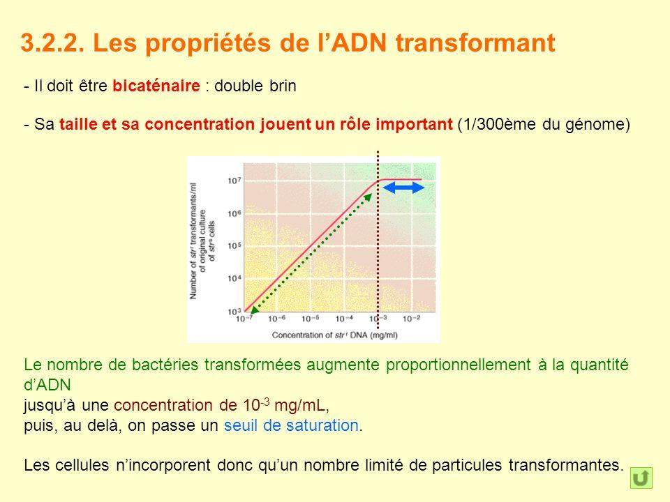 3.2.2. Les propriétés de lADN transformant - Il doit être bicaténaire : double brin - Sa taille et sa concentration jouent un rôle important (1/300ème