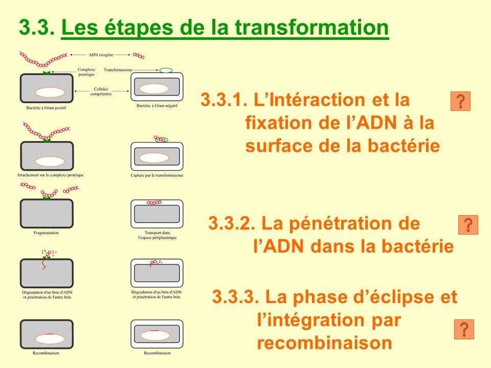 3.3. Les étapes de la transformation 3.3.1. LIntéraction et la fixation de lADN à la surface de la bactérie 3.3.2. La pénétration de lADN dans la bact