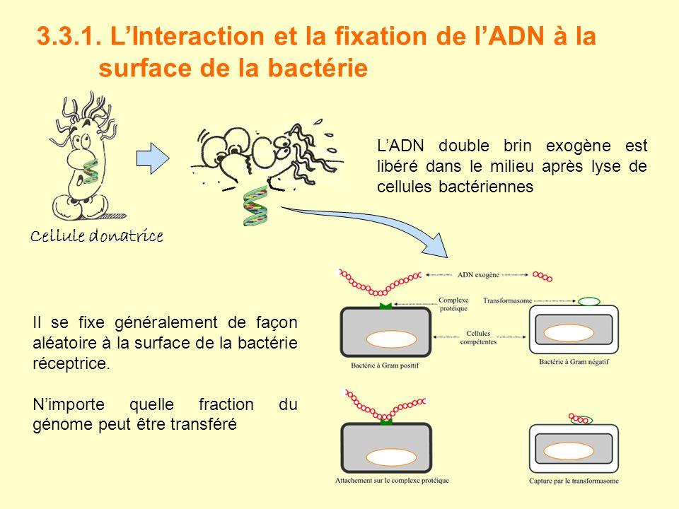 3.3.1. LInteraction et la fixation de lADN à la surface de la bactérie LADN double brin exogène est libéré dans le milieu après lyse de cellules bacté