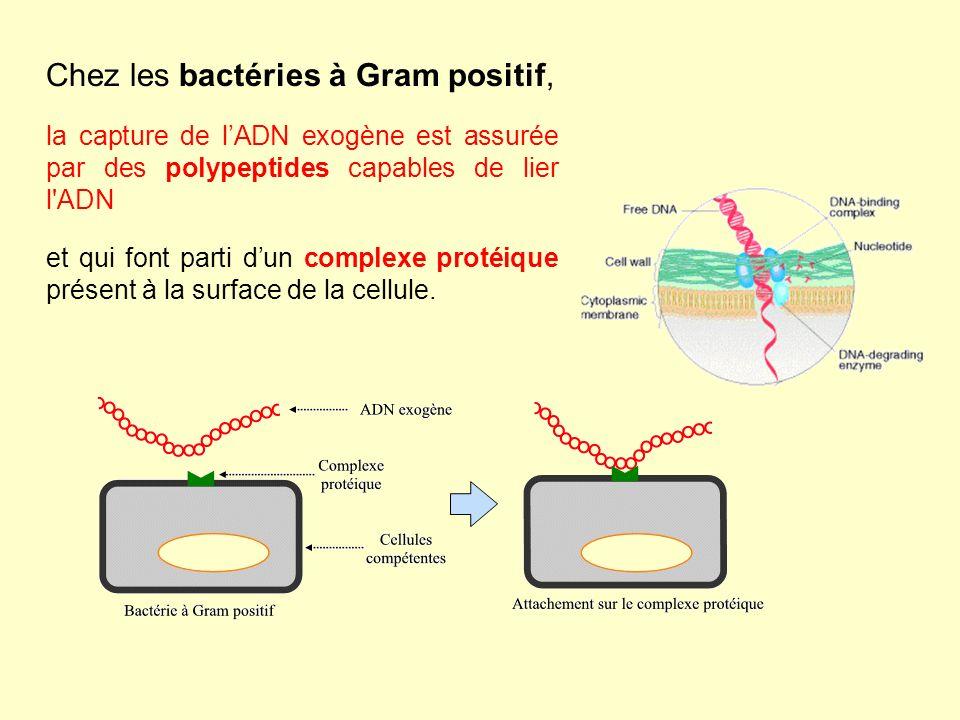 Chez les bactéries à Gram positif, la capture de lADN exogène est assurée par des polypeptides capables de lier l ADN et qui font parti dun complexe protéique présent à la surface de la cellule.