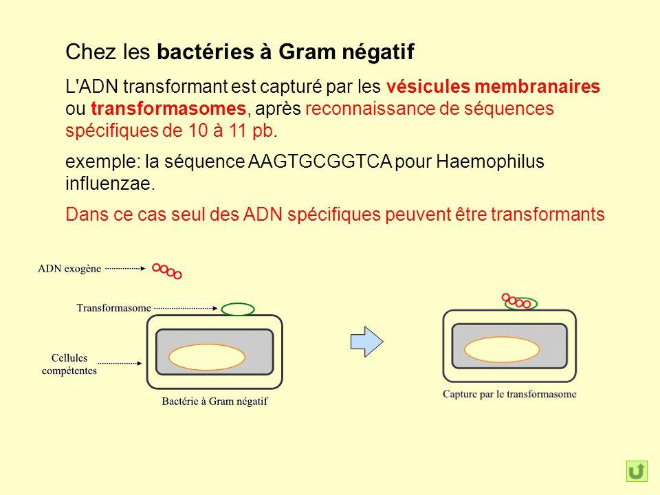Chez les bactéries à Gram négatif L ADN transformant est capturé par les vésicules membranaires ou transformasomes, après reconnaissance de séquences spécifiques de 10 à 11 pb.