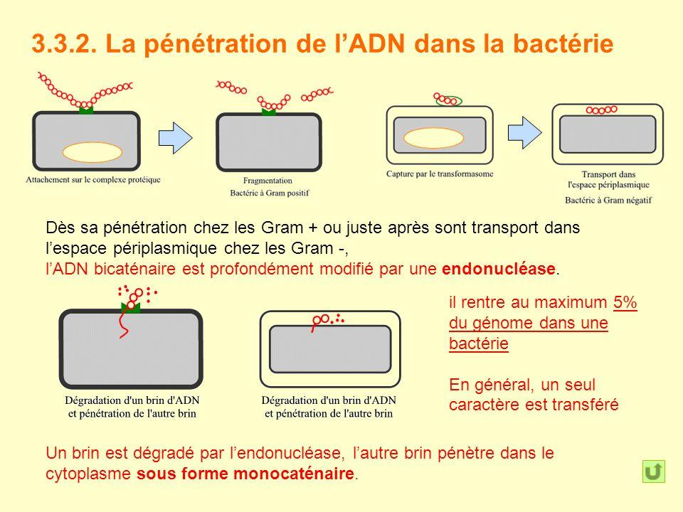 3.3.2. La pénétration de lADN dans la bactérie Dès sa pénétration chez les Gram + ou juste après sont transport dans lespace périplasmique chez les Gr