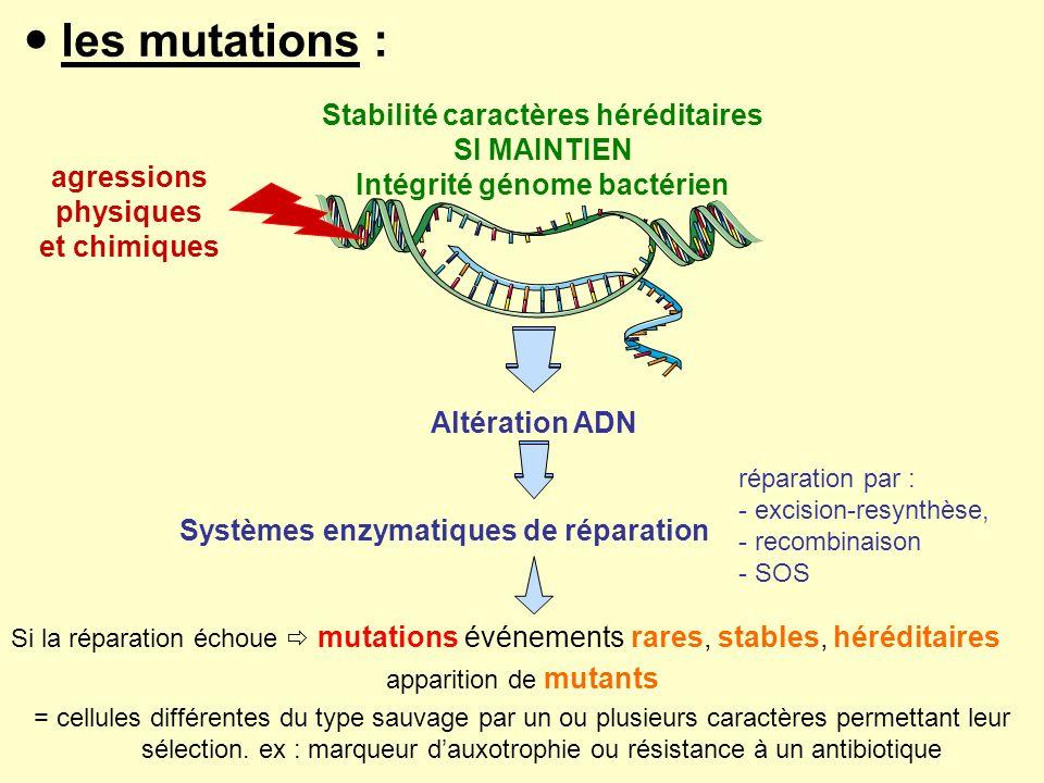 les mutations : Si la réparation échoue mutations événements rares, stables, héréditaires apparition de mutants = cellules différentes du type sauvage