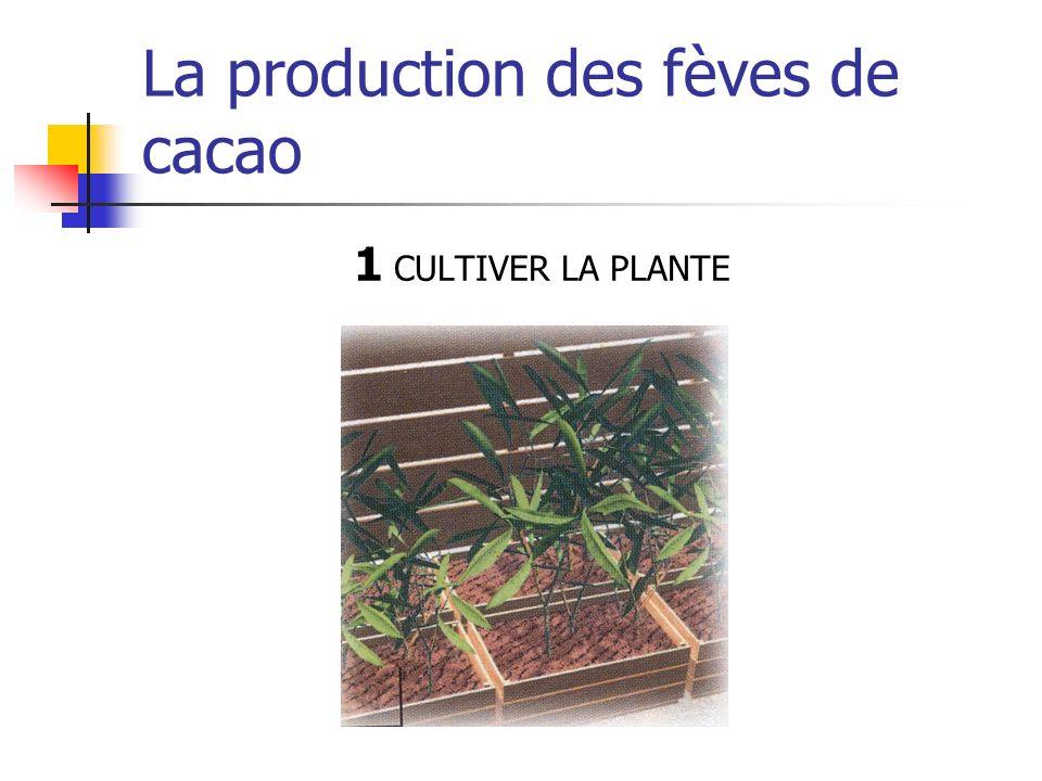 La production des fèves de cacao 1 CULTIVER LA PLANTE