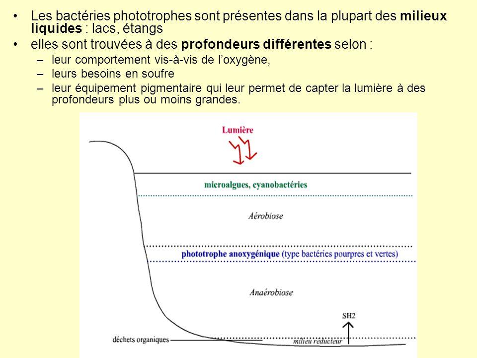 Les bactéries phototrophes sont présentes dans la plupart des milieux liquides : lacs, étangs elles sont trouvées à des profondeurs différentes selon