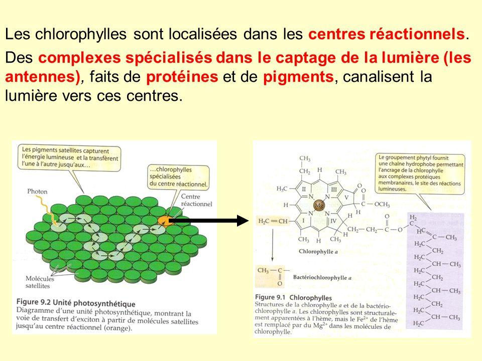 Les chlorophylles sont localisées dans les centres réactionnels. Des complexes spécialisés dans le captage de la lumière (les antennes), faits de prot