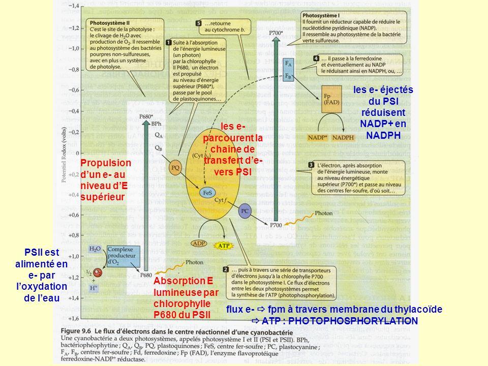 Absorption E lumineuse par chlorophylle P680 du PSII Propulsion dun e- au niveau dE supérieur les e- parcourent la chaîne de transfert de- vers PSI fl