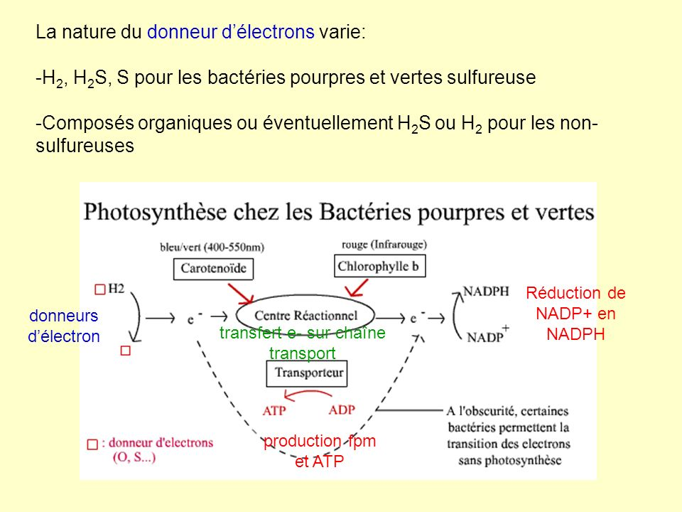 La nature du donneur délectrons varie: -H 2, H 2 S, S pour les bactéries pourpres et vertes sulfureuse -Composés organiques ou éventuellement H 2 S ou