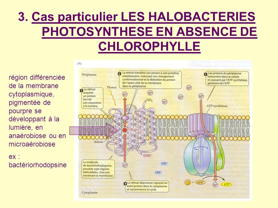 3. Cas particulier LES HALOBACTERIES PHOTOSYNTHESE EN ABSENCE DE CHLOROPHYLLE région différenciée de la membrane cytoplasmique, pigmentée de pourpre s
