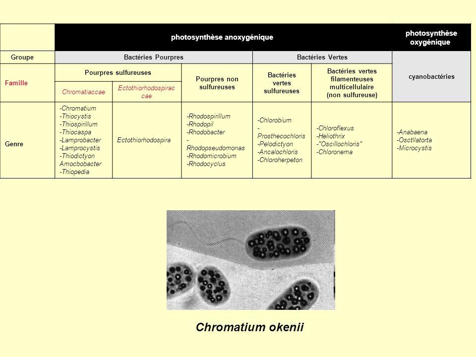 photosynthèse anoxygénique photosynthèse oxygénique Groupe Bactéries PourpresBactéries Vertes cyanobactéries Famille Pourpres sulfureuses Pourpres non
