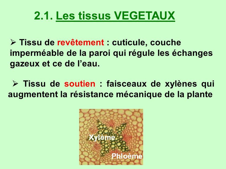 2.1. Les tissus VEGETAUX Tissu de revêtement : cuticule, couche imperméable de la paroi qui régule les échanges gazeux et ce de leau. Tissu de soutien