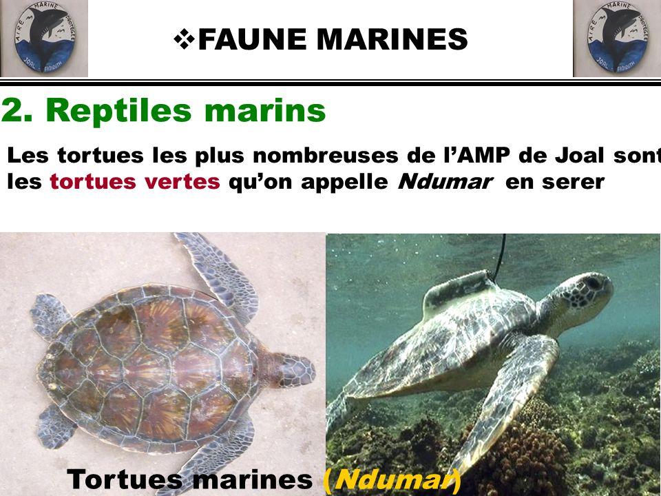 2. Reptiles marins FAUNE MARINES Tortues marines (Ndumar) Les tortues les plus nombreuses de lAMP de Joal sont les tortues vertes quon appelle Ndumar