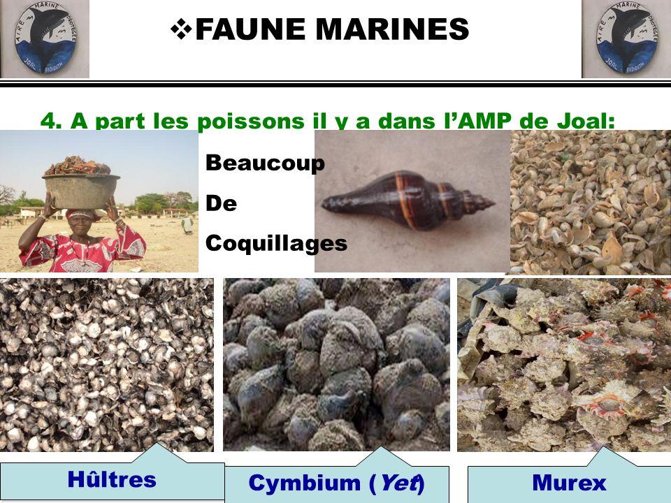 4. A part les poissons il y a dans lAMP de Joal: FAUNE MARINES Hûltres Cymbium (Yet)Murex Beaucoup De Coquillages