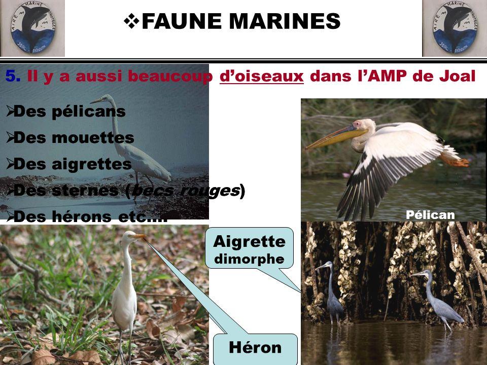 Héron FAUNE MARINES Des pélicans Des mouettes Des aigrettes Des sternes (becs rouges) 5. Il y a aussi beaucoup doiseaux dans lAMP de Joal Aigrette dim