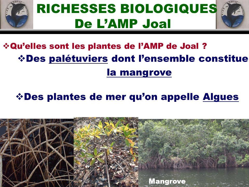Quelles sont les plantes de lAMP de Joal ? Des palétuviers dont lensemble constitue la mangrove RICHESSES BIOLOGIQUES De LAMP Joal Des plantes de mer