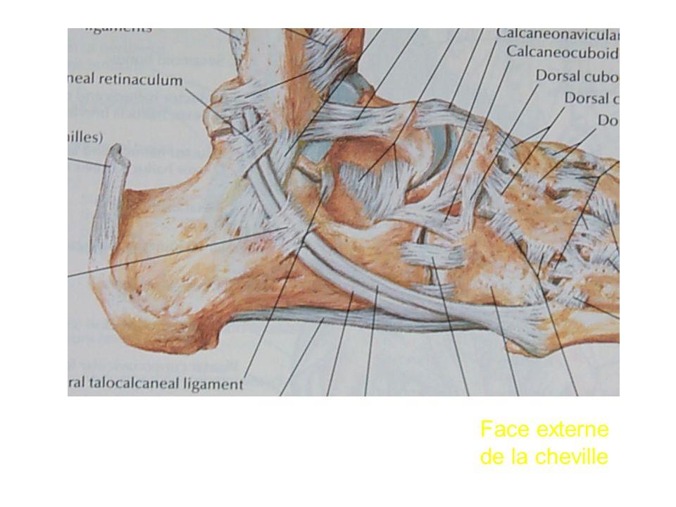 Face externe de la cheville