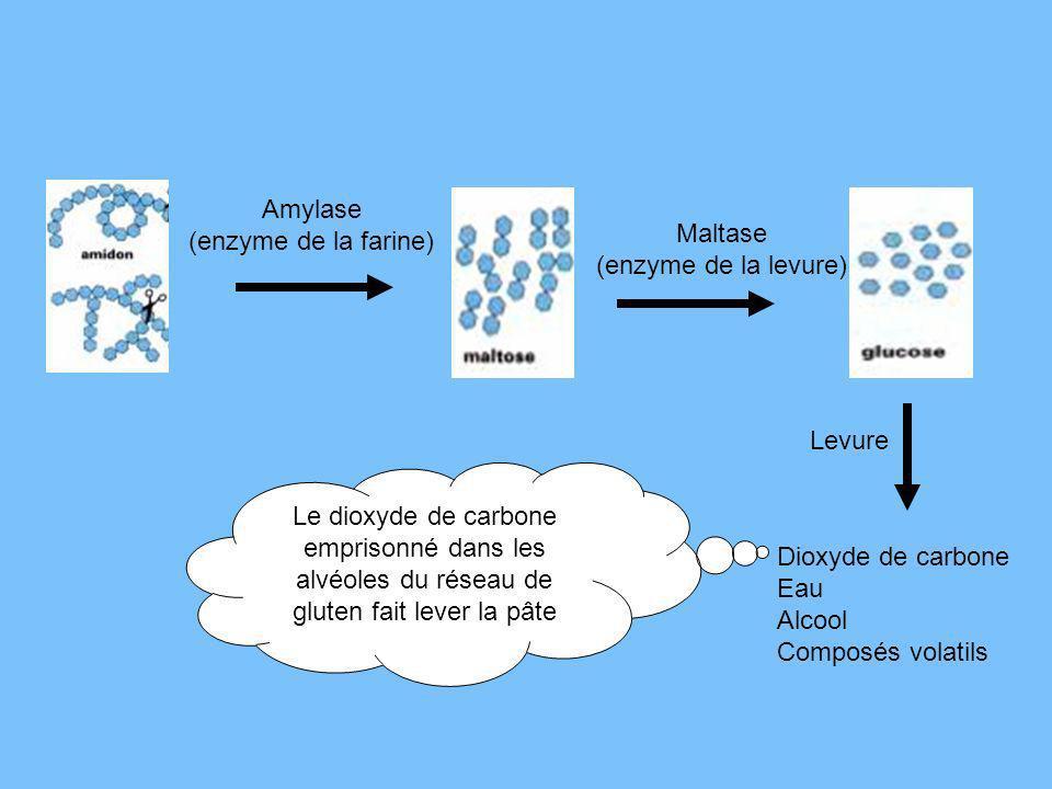 Amylase (enzyme de la farine) Maltase (enzyme de la levure) Levure Le dioxyde de carbone emprisonné dans les alvéoles du réseau de gluten fait lever l