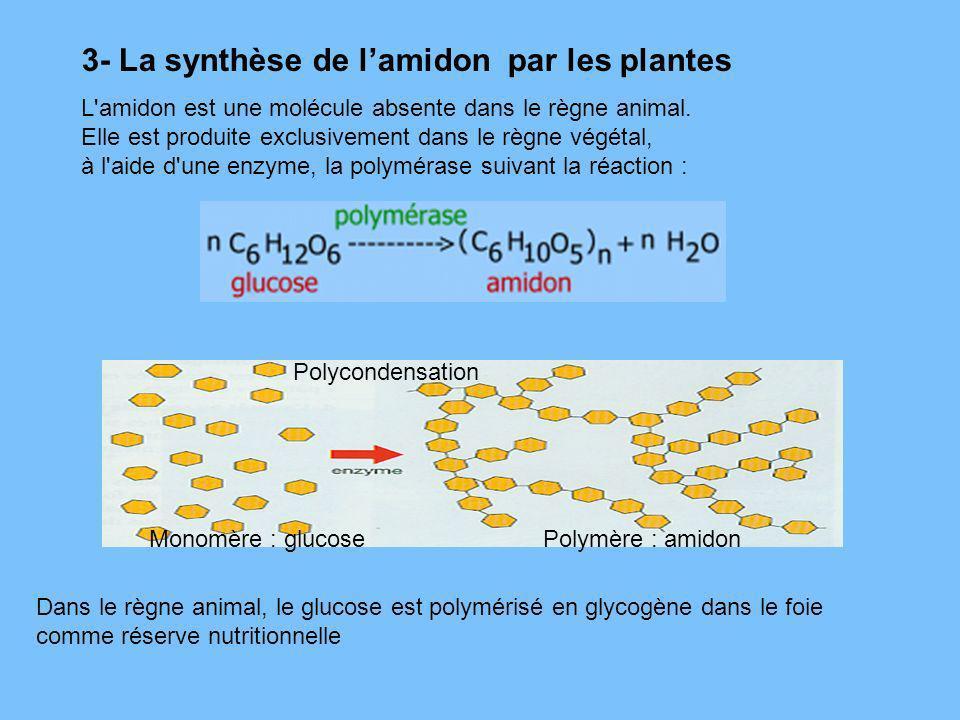 3- La synthèse de lamidon par les plantes L'amidon est une molécule absente dans le règne animal. Elle est produite exclusivement dans le règne végéta