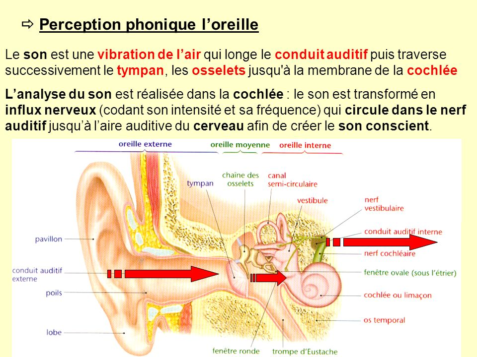 Perception phonique loreille Le son est une vibration de lair qui longe le conduit auditif puis traverse successivement le tympan, les osselets jusqu'